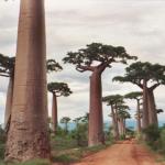 """""""Avenue des Baobab"""", un viaggio in Madagascar da non perdere"""