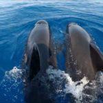 """""""Digital Whales"""" festeggia inaugurando il bimestre del globicefalo"""
